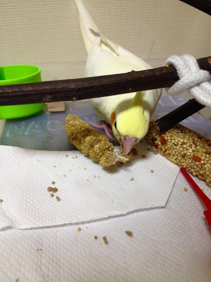 きみちゃん、粟食べる
