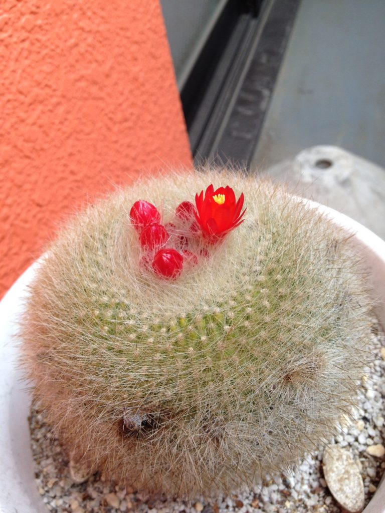 サボテンの赤い花が咲き始めた