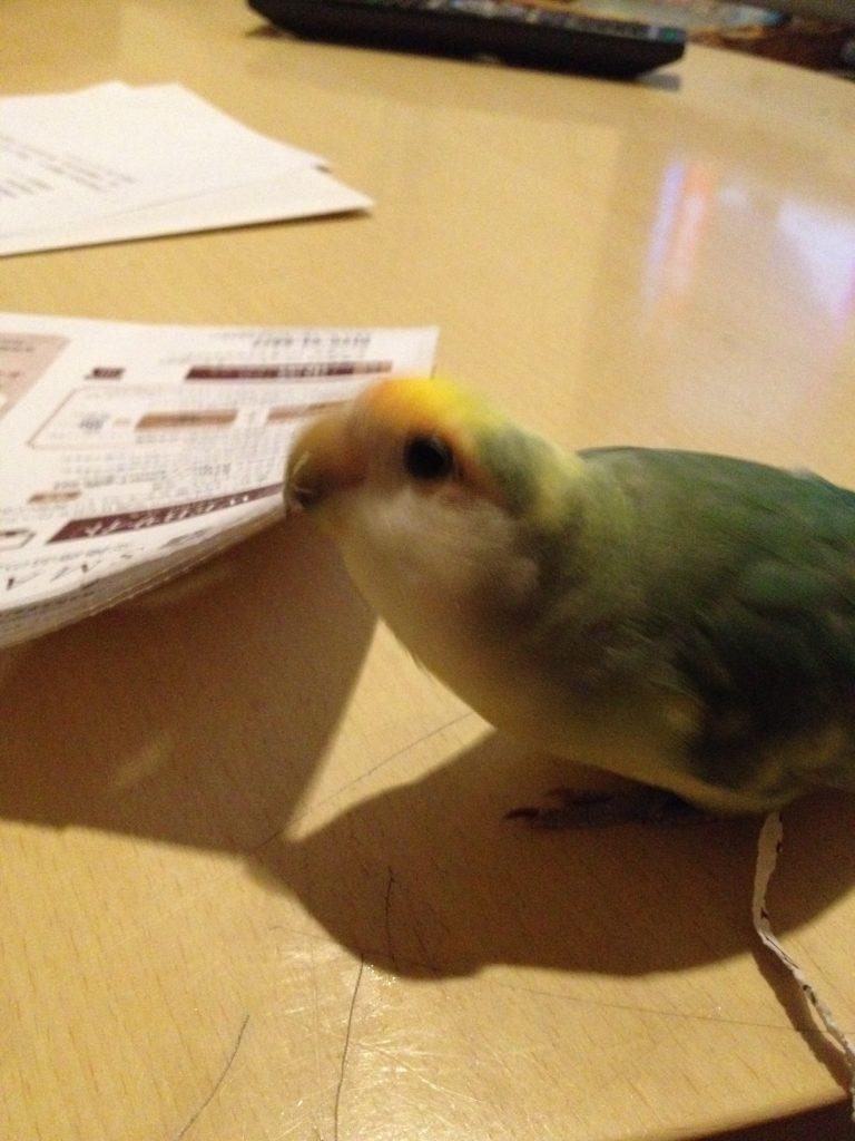 コザクラインコのちーちゃん、紙切り大好き