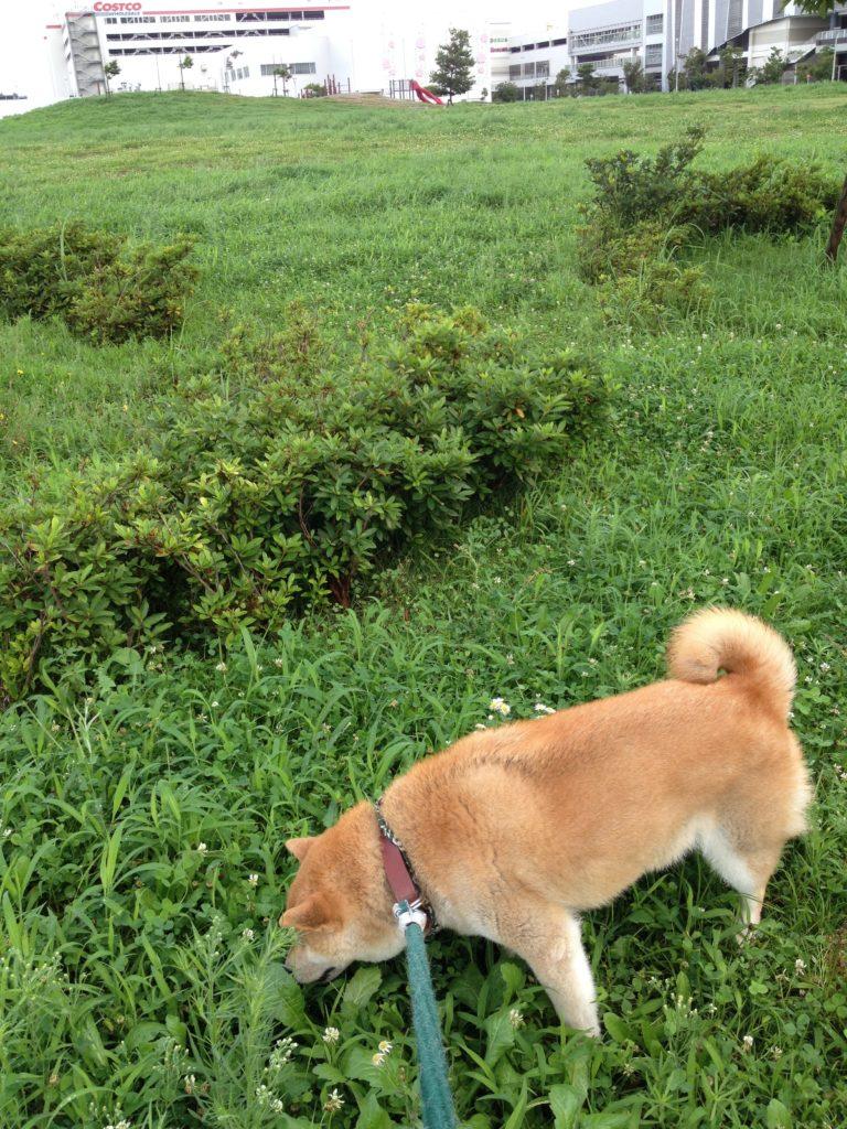 草を物色中の柴犬いち君