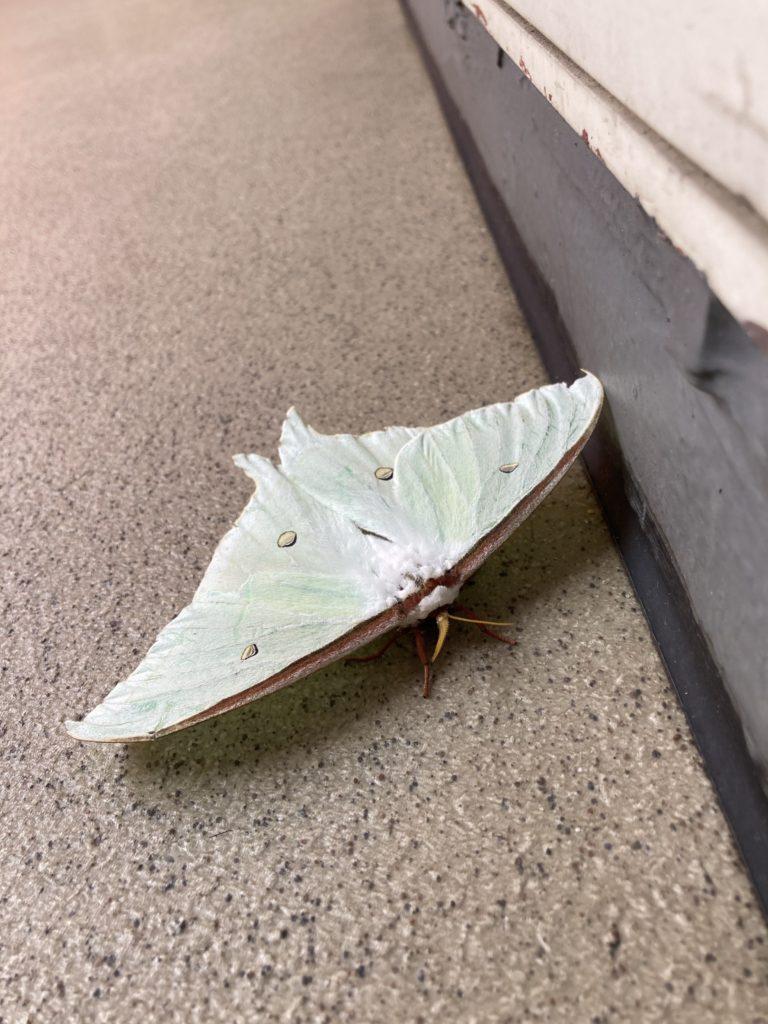 調べたらオオミズアオという蛾だそうです