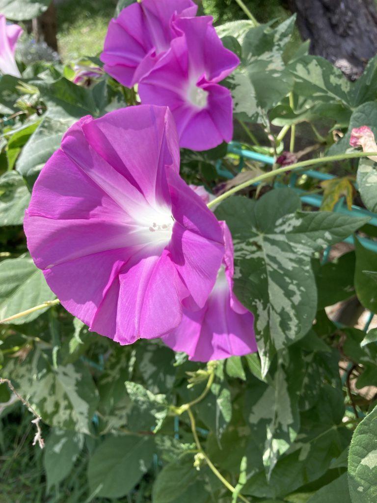 今朝のアサガオ 紫色の花びら