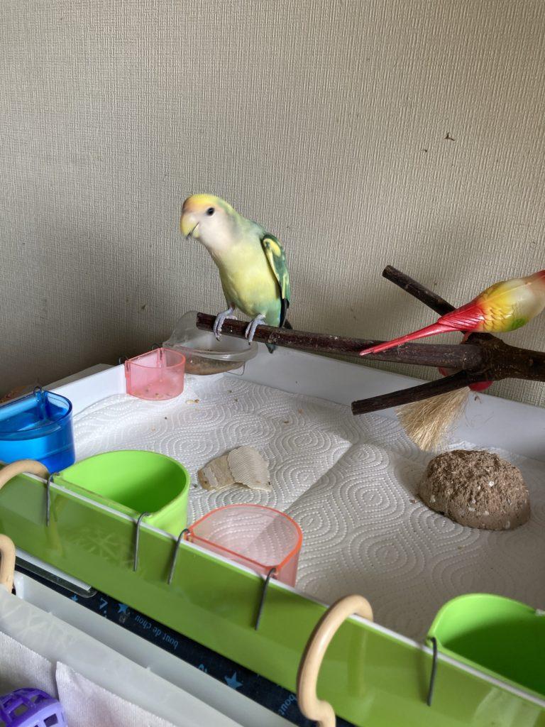 部屋で放鳥したときには、ここで餌を食べたり、遊んだりしています。