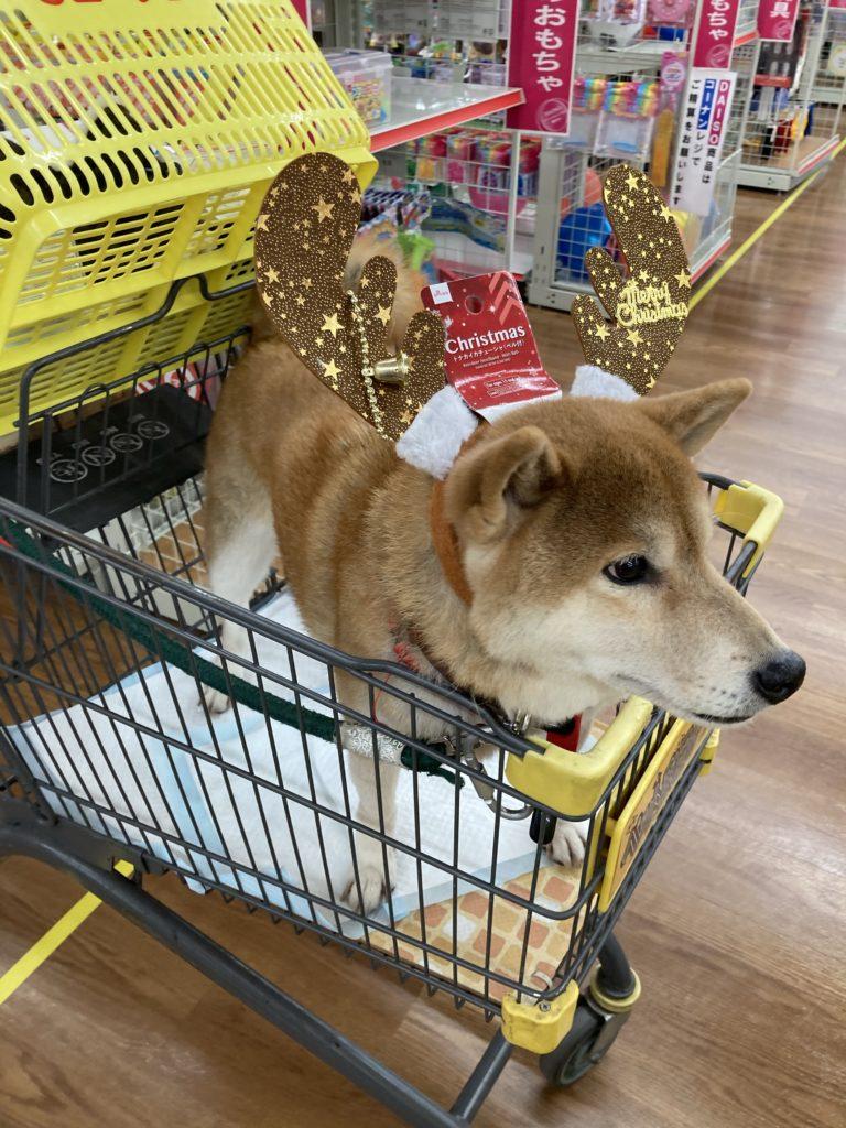 コーナンのカートに乗っているときは、とてもご機嫌な柴犬のいち君