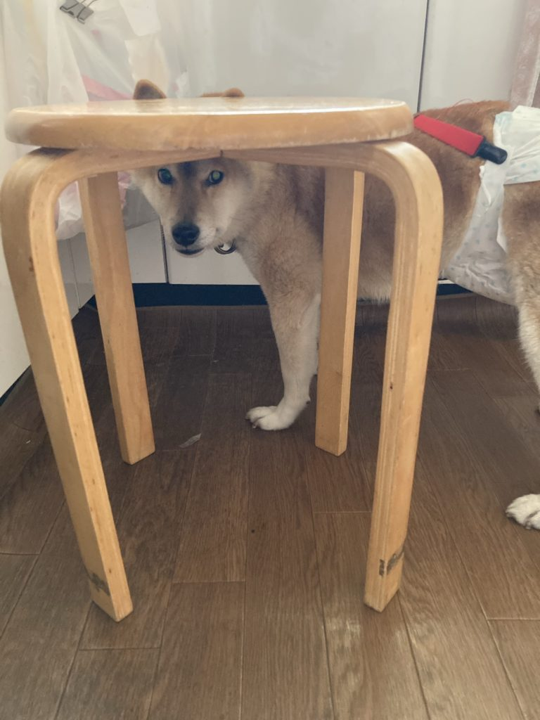椅子の下から上目遣いで見ています