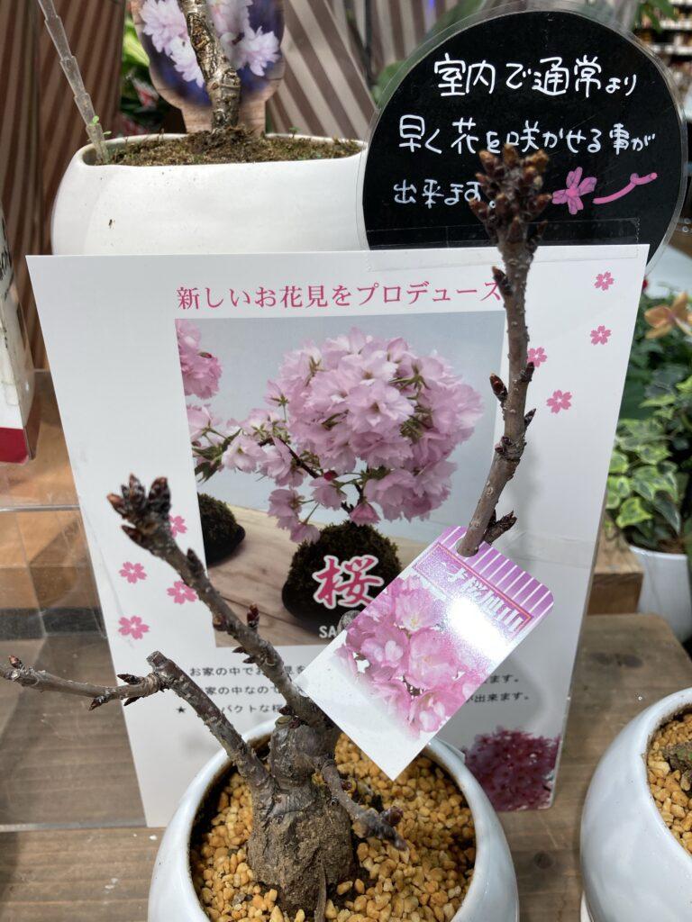 こんな桜もあるのですね