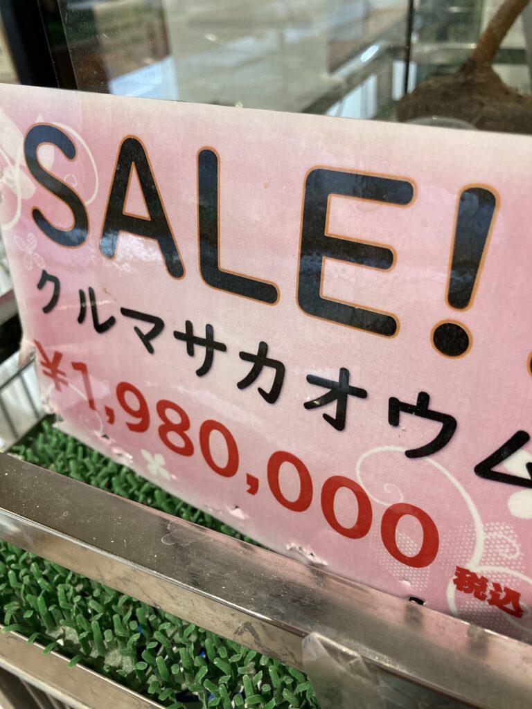 クルマサカオウムがセール中で1,980,000円+税金