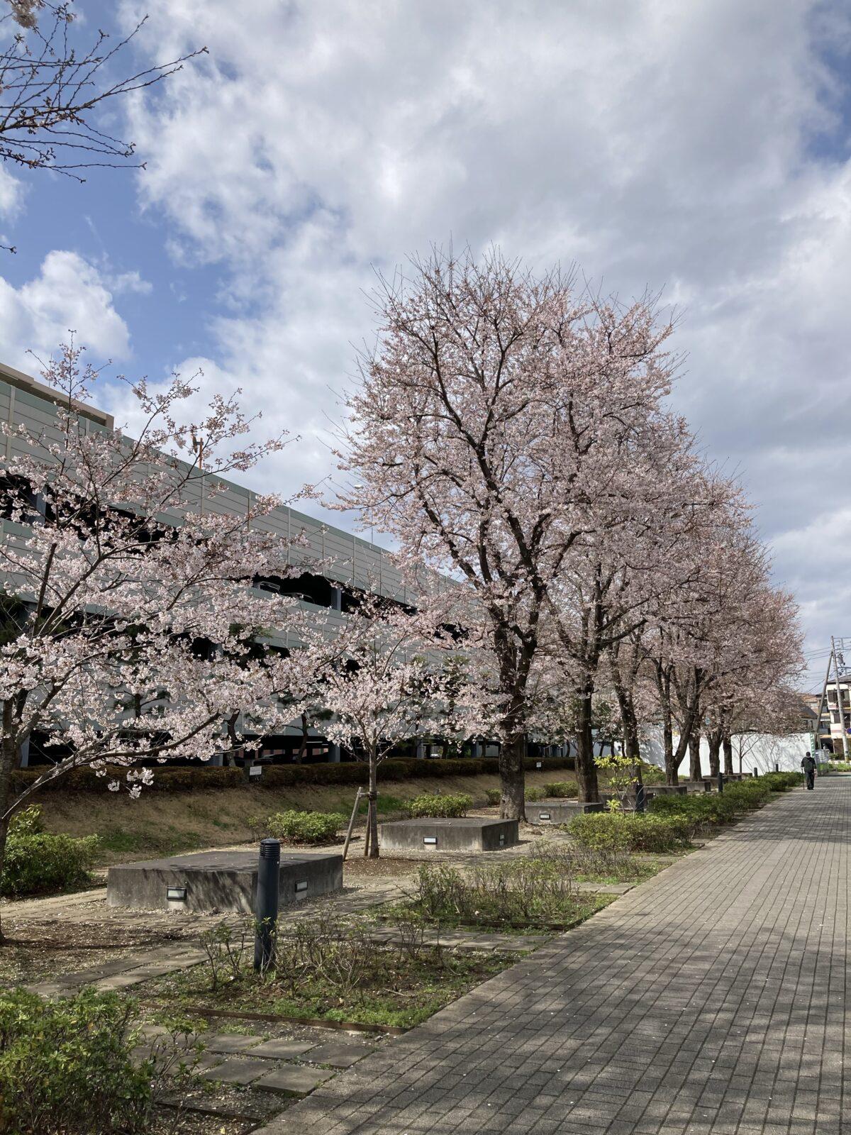 出勤途中の桜を撮影