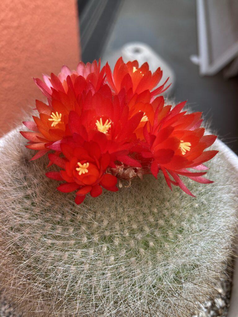 7つの花を咲かせているサボテン