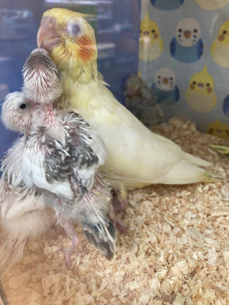文鳥の雛に餌くれと言われるオカメインコの雛