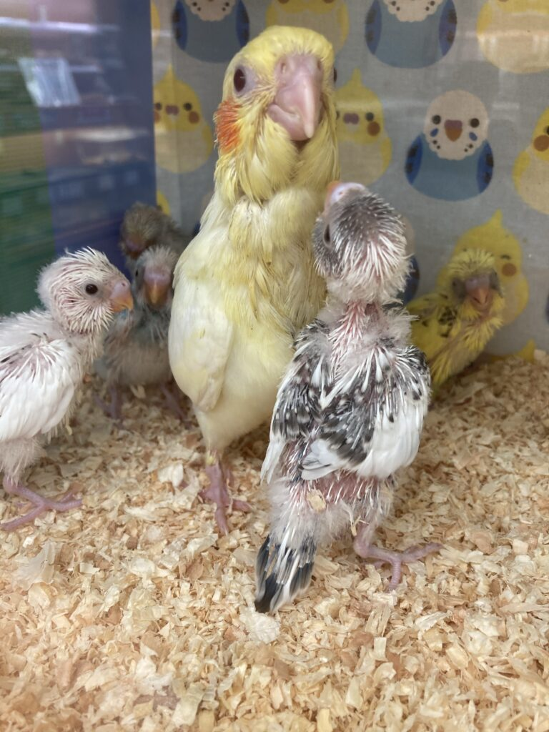 文鳥とオカメインコの雛が同居しているため、オカメインコの雛をお母さんだと思っている文鳥雛