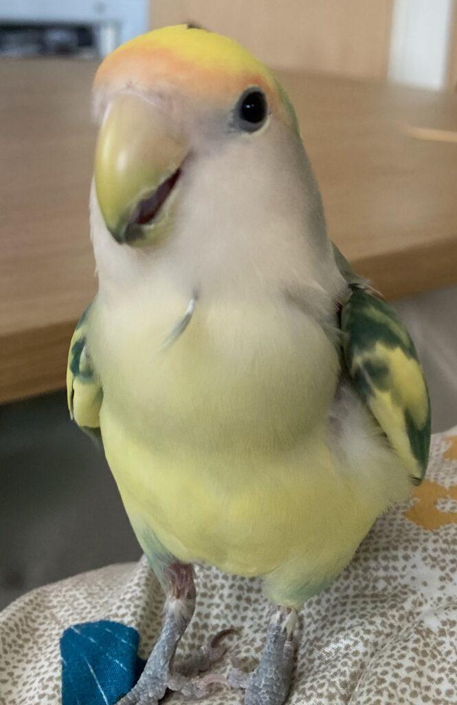 自分の羽を胸に挿してどや顔しているコザクラインコのちーちゃん