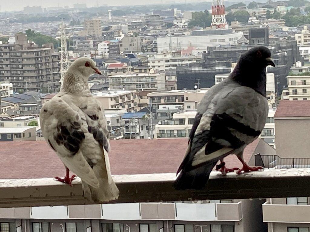 鳩の夫婦がやってきた
