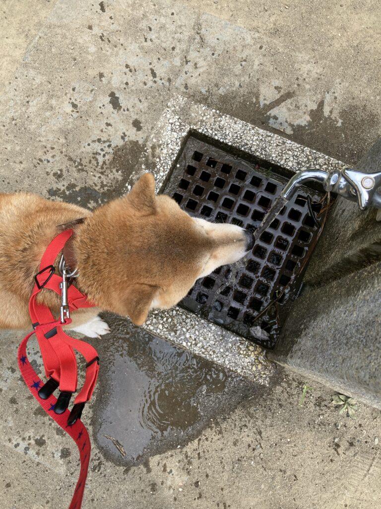 水道の蛇口から水を飲む いち君